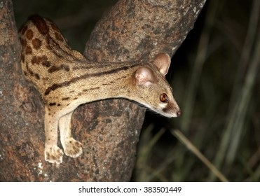Close up portrait of nocturnal, small carnivoran, South African Large-spotted Genet, Genetta tigrina, climbing on a tree at night, side view. Saadani, Tanzania.
