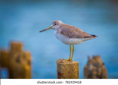 Close up portrait of Nordmann's Greenshank (Tringa guttifer) in real nature in Thailand