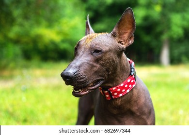 Close up portrait One Mexican hairless dog (xoloitzcuintle, Xolo) in a red collar on a background of green grass and trees in the park