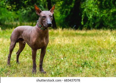 Close up portrait One Mexican hairless dog (xoloitzcuintle, Xolo) in full growth in a  collar on a background of green grass and trees in the park