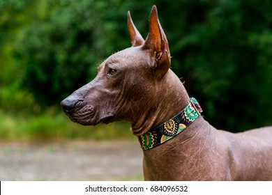 Close up portrait One Mexican hairless dog (xoloitzcuintle, Xolo) in  collar on a background of green grass and trees in the park