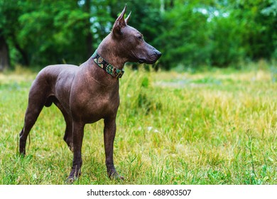 Close up portrait One Mexican hairless dog in full growth in a red collar on a background of green grass and trees in the park