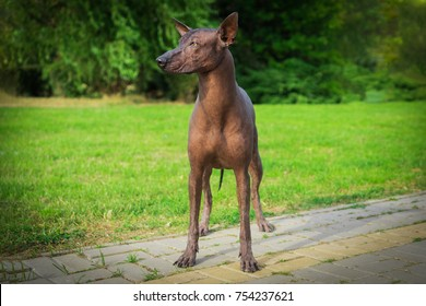 Close up portrait One Mexican hairless dog (xoloitzcuintle, Xolo) in full growth ion a background of green grass and trees in the park