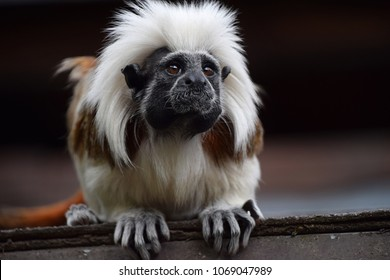 Close up portrait of one small cotton-top tamarin (Saguinus oedipus) monkey sitting on the roof and looking at camera, low angle front view