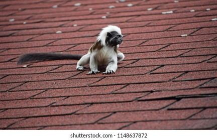 Close up portrait of one small cotton-top tamarin (Saguinus oedipus) monkey sitting on the roof and looking away, low angle view