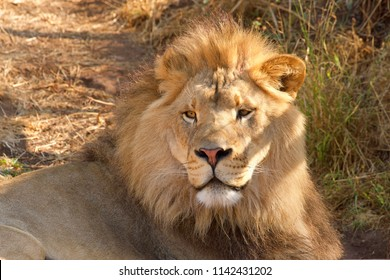 Close up portrait of one young male lion laying in brown grass on a bright sunny hot summer day. Looking directly at viewer.