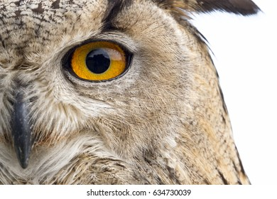 Close up portrait of an owl isolated on white background (Bubo bubo)