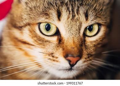 Close Up Portrait Peaceful Tabby Male Kitten Cat