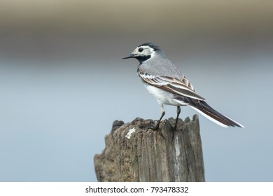 Close up portrait of a perched White Wagtail (Motacilla alba) bird with white, gray and black feathers. The White Wagtail is the national bird of Latvia