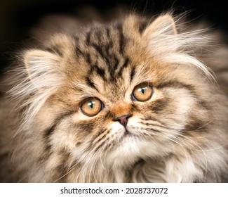 Close up portrait of Persian Kitten