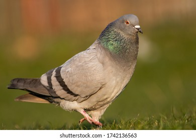 Close up portrait of a pigeon bird
