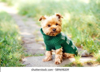 close up portrait of pretty sweet small little dog Yorkshire terrier in pullover  outdoor dress, jacket on the spring sunny summer background