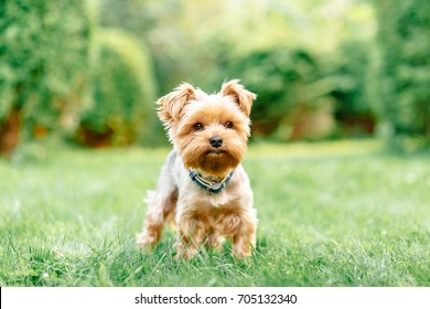 close up portrait of pretty sweet small little dog Yorkshire terrier in collar sitting outdoor dress on the spring sunny summer background
