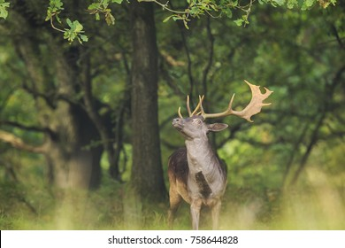 Close up portrait of a proud male fallow deer stag, Dama Dama, with big antlers standing in a green forest during Autumn season.