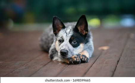 Close portrait puppy of the australian cattle dog