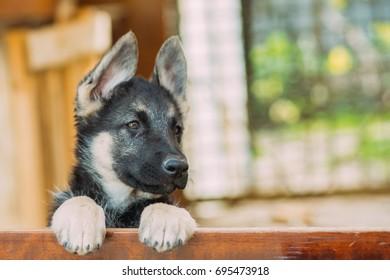 Close up portrait of puppy German Shepherd East-European Shepherd dog. Shallow focus. Copy space.