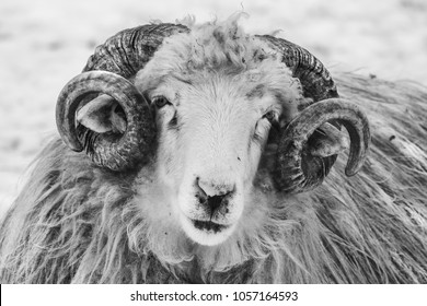 close up portrait of a ram in winter