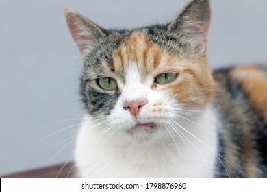 Close up portrait of a real grumpy calico cat with a natural fretful facial expression