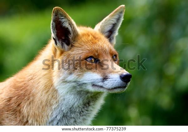 Nahaufnahme eines Roten Fox