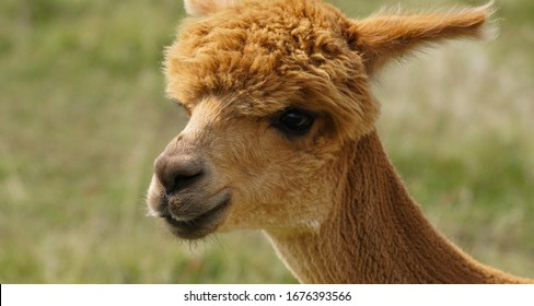 Close up portrait of a red headed adult alpaca with beautiful eyes