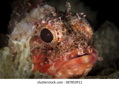 Close Up portrait of a Red Mediterranean Rock-fish hiding between rocks - Red Scorpaena of ligurian sea looking at the camera