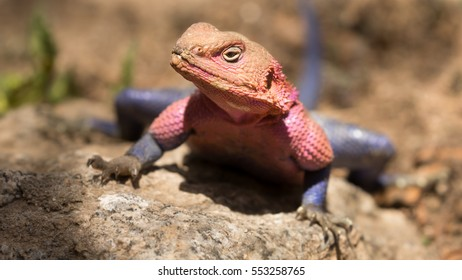 Close up portrait of a Red-headed rock agama lizard, with his beautiful colors, also know as common agama, Serengeti National Park, Tanzania