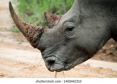 Close up portrait of rhino, profile