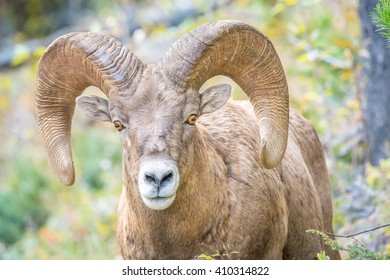 Close up portrait of Rocky Mountains Bighorn Sheep with full curl trophy ram