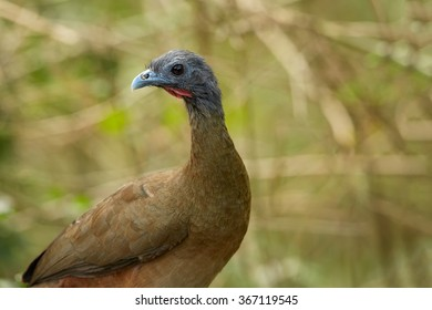 Close up portrait of Rufous-vented Chachalaca  Ortalis ruficauda in its typical environment.Medium-sized bird,  long strong legs and a long broad tail. Dark brown plumage,rufous tail. Blurred forest.