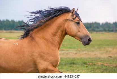 Close up portrait of a running draft stallion.