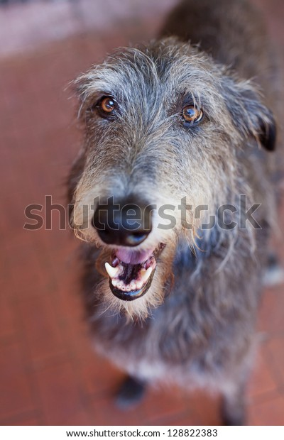 Close up portrait of a Scottish Deerhound.The Scottish Deerhound, or simply the Deerhound, is a breed of hound once bred to hunt the Red Deer by coursing.