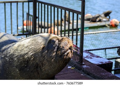 Close up portrait with shallow depth of field of a big male sea lion in front of the blue ocean, eating a fish. Captured in Chile next to a fish market.