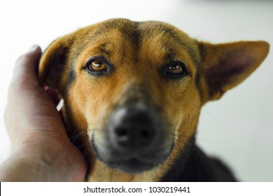 Close up portrait of Shepherd dog brown looking at camera and human hand petting