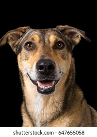 Close up portrait shot of a beautiful female mixed breed dog with a friendly, happy face, shot on black background.