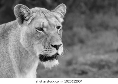 A close up portrait shot of a lioness (Panthera leo) in the wild. This is a black and white image.