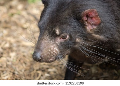 Close up portrait side profile image of a Tasmanian Devil