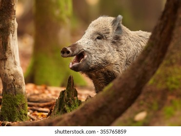 Close up portrait of smiling big  Sus scrofa Wild boar in autumn beech forest staring directly at camera. Colorful orange leaves on the ground, framed by blurred trees. European lowland forest.