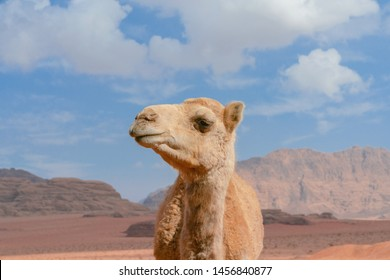 A close up portrait of a smiling camel in Wadi Rum desert in Jordan.