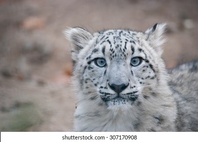 close up portrait of Snow leopard cub starring into camera, blue eyes, rare endangered animal, face of snow leopard cub