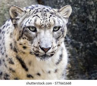 Close portrait of a snow leopard (Panthera uncia).