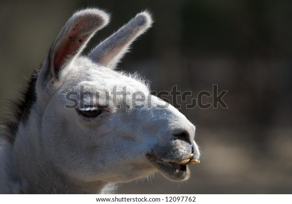 Close up portrait of a South American Llama displaying an impressive dentition