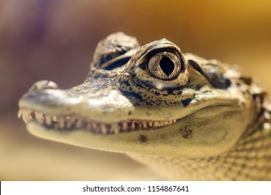 Close up portrait of the spectacled caiman (Caiman crocodilus), aka the white caiman or common caiman, a reptile found in much of Central and South America
