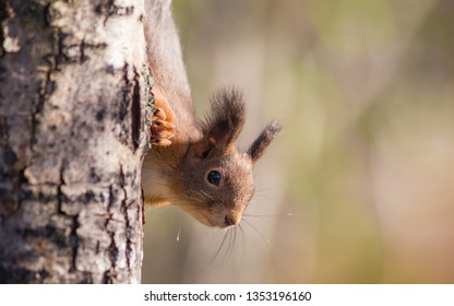 Close up portrait of a squirrel looking towards the viewer. The squirrel is partially hiding behind the tree is is climbing.