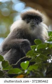 Close up portrait Sri Lanka endemic, shy Purple-faced Leaf Monkey Trachypithecus vetulus, grayish mustache monkey, feeding leaves in treetop. Eye level photo. Blurred green and blue background.