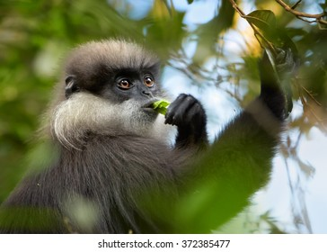 Close up portrait Sri Lanka endemic, shy Purple-faced Leaf Monkey Trachypithecus vetulus, grayish mustache monkey, feeding leaves in treetop. Eye level photo. Blurred green and blue background.
