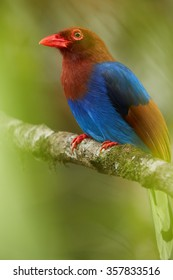 Close up portrait Sri Lankan endemic Ceylon Blue Magpie Urocissa ornata. Shining blue breast and magpie with terracotta wings,red beak and eye. Adult  perched on branch.Blurred green background.