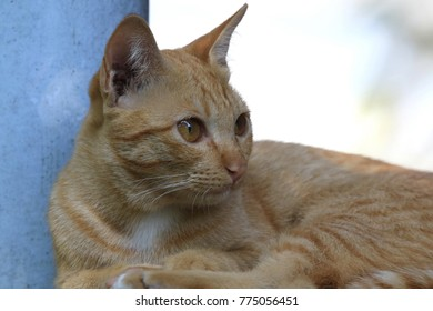 Close up portrait of the striped red purebred cat and looking something.