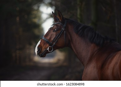 close up portrait of stunning trakehner gelding sport horse boy with white line on road in forest