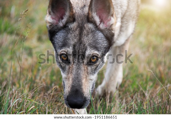 Close up (portrait with sun) picture of hybrid of czechoslovakian wolfdog from a shelter. Walk with dog in the nature. Female dog. Summer, autumn time.