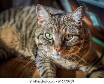 Close up portrait of a tabby cat lying in a sunny spot inside the house. The cat is alert and intensely watching.